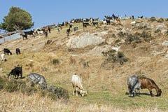 Козы пася на холме Среднеземноморской ландшафт Стоковая Фотография RF
