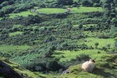 Козы пася среди зеленых полей завальцовки в Healy проходят, Cork, Ирландия Стоковая Фотография
