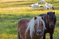 2 козы пони на заднем плане стоковые фото