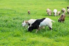 Козы подавая трава на ферме Стоковое Изображение