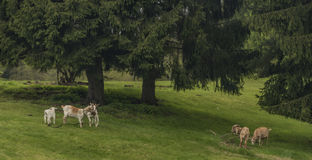 Козы приближают к деревьям на зеленом луге Стоковое Изображение