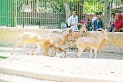 Козы пустыни семьи подавая на египетском зоопарке Стоковое фото RF