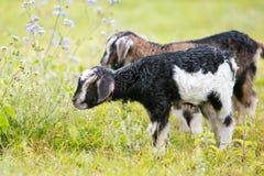 2 козы ребенк младенца в травянистом луге Стоковые Фотографии RF