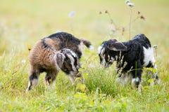 2 козы ребенк младенца в травянистом луге Стоковое Изображение RF