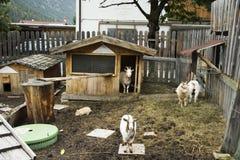 Козы семья и кролики стоят на земле в клетке на внешнем Стоковые Фото