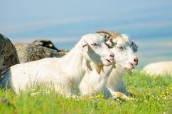 2 козы сидя в зеленой траве Стоковые Фото