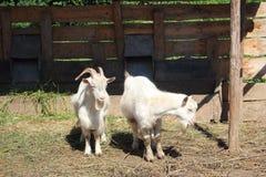 2 козы стоя на деревянной стене Стоковая Фотография RF