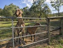 Козы фермы Стоковое Изображение RF