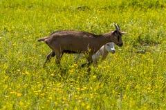 Козы Стоковая Фотография RF