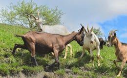 козы bumping друг против друга Конкуренция Конфронтация стоковое фото