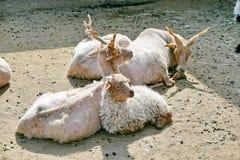 Козы Girgentana лежа на земле в Солнце стоковые изображения