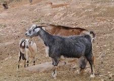 Козы Majorera родные к Фуэртевентуре в Испании Стоковое Изображение