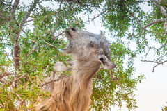 Козы Morrocan в поле Стоковые Изображения RF