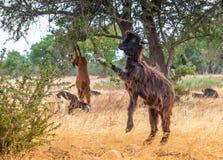 Козы Morrocan в поле Стоковое Фото