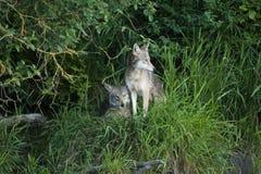 2 койота прижимаясь на холме Стоковые Изображения RF
