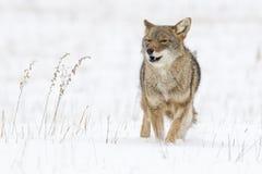 Койот бежать в снеге Стоковые Фотографии RF