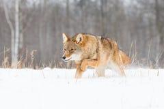Койот бежать низко в глубоком снеге Стоковая Фотография RF
