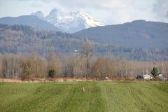 Койот в поле Стоковые Изображения RF