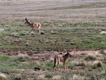 Койот и самец оленя Pronghorn в гористых местностях Prescott Стоковое Изображение