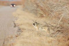 Койот Стоковая Фотография RF