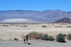 Койот, Death Valley Стоковое Изображение RF
