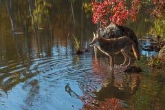 Койот (latrans волка) на утесе в пруде Стоковое фото RF