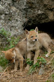 Койот, latrans Canis Стоковое Фото
