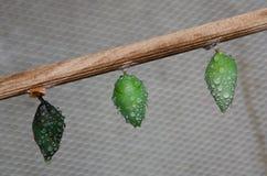 Коконы бабочки в инкубаторе Стоковая Фотография RF