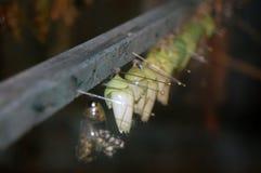 Коконы бабочки Стоковая Фотография RF