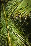 Кокосовая пальма выходит предпосылка Стоковые Фотографии RF