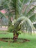 Кокосовая пальма бонзаев Стоковое Изображение