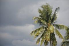 Кокосовая пальма в штормовой погоде стоковое изображение