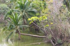 Кокосовая пальма около реки Стоковое фото RF