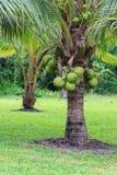 Кокосовая пальма, разнообразие карлика в плантации Стоковое Фото