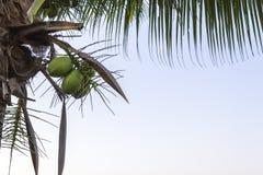 Кокосовая пальма Стоковые Фото