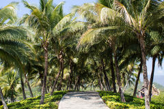 Кокосовая пальма Стоковое Фото