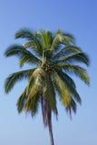 Кокосовая пальма Стоковые Изображения