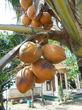 Кокосовая пальма - 5 Стоковое Изображение