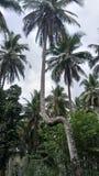 кокосовая пальма slunt Стоковая Фотография RF