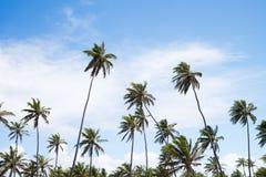 Кокосовые пальмы в Прая делают сильную сторону, Бахю, Бразилию Стоковое Изображение