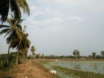 Кокосовые пальмы на банке озера Стоковая Фотография RF