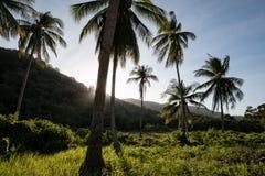 Кокосовые пальмы на луге с солнцем backlight Стоковое Фото
