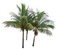 Кокосовые пальмы Стоковое Изображение