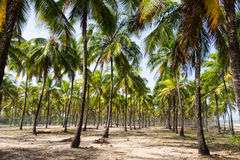 Кокосовые пальмы Maracaipe - Pernambuco, Бразилия Стоковое фото RF