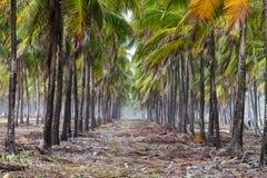 Кокосовые пальмы Maracaipe - Pernambuco, Бразилия Стоковые Изображения RF