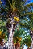Кокосы в верхней части пальмы Стоковое Изображение RF