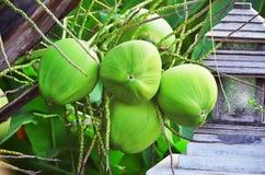 кокосы молодые Стоковая Фотография