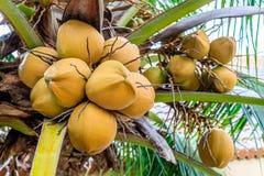 Кокосы на ладони кокоса, Филиппинах Стоковое Фото