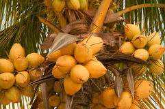 Кокосы на пальме Стоковая Фотография