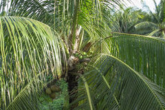 Кокосы на тропической пальме стоковые фото